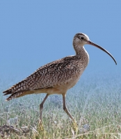 The charismatic Long-billed Curlew, the largest shorebird in North America, spends part of the year in southwest Idaho.