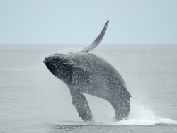 Humpback whale at Cordell Bank NMS