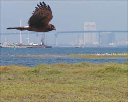 Northern Harrier and Sweetwater Marsh