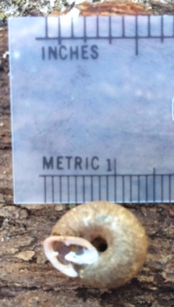 View of snail Tridopsis tridentata shell seen from below with ruler.