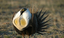 Greater Sage Grouse Maze